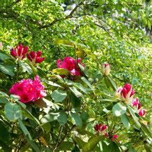 妙法山の西洋石楠花(セイヨウシャクナゲ)
