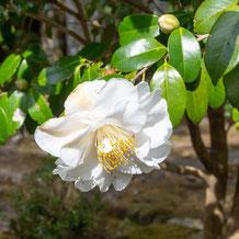 妙法山の白い椿