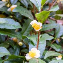 妙法山の茶の花(茶の木、チャノキ)