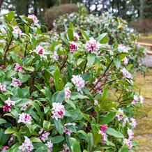 妙法山の沈丁花、花が香る