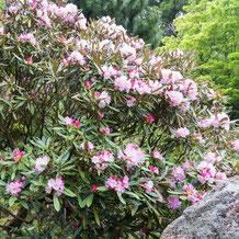 妙法山の本石楠花(ホンシャクナゲ)