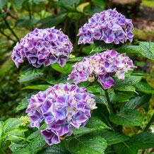妙法山の紫陽花