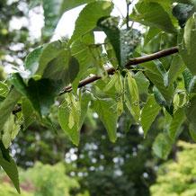 妙法山の菩提樹(ボダイジュ)