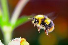 Hummel im Anflug auf eine Blüte