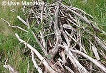 Waldeidechse: Holzhaufen bieten viele Sonn- und Versteckplätze.