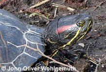 Rotwangenschmuckschildkröte: Portrait.