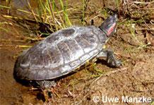 Rotwangenschmuckschildkröte: Männchen.