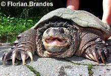 Schnappschildkröte.