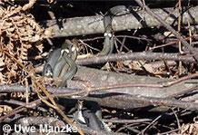 Ringelnatter: vier Männchen versuchen sich mit einem Weibchen zu paaren.