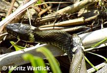 Ringelnatter: kleineres Männchen auf Weibchen liegend.