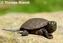 Europäische Sumpfschildkröte: Jungtier.