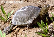 Europäische Sumpfschildkröte.