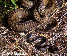 Kreuzotter: Weibchen mit gerade geborenem Jungtier.