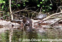In den Parkanlagen der Ballungsräume oft zu sehen: Schmuck- und Zierschildkröten.