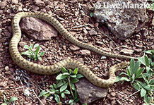 Schlingnatter: großes Weibchen.