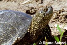 Europäische Sumpfschildkröte: Portrait.