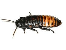 マダガスカルオオゴキブリ