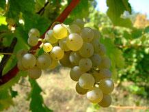 Trauben der Rebsorte Sauvignon Blanc