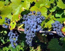 Trauben der Rebsorte Pinot Noir