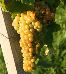 Trauben und Blätter der Rebsorte Gelber Muskateller, aufgenommen am Weinbaulehrpfad auf dem Schemelsberg in Weinsberg