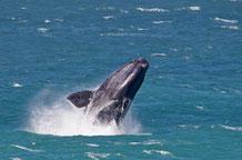 Ausflüge Kapstadt Reisetipps: Whale Watching