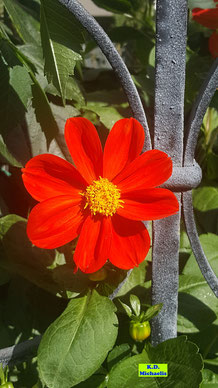Ungefüllte, kräftig rote Blüte einer Dahlie von K.D. Michaelis
