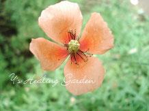 ナガミヒナゲシ 花