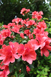 初夏のような日差しを浴びて咲き誇るツツジ=15日、石垣市民会館構内