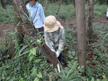 小学生の参加者が枯木を切り倒す