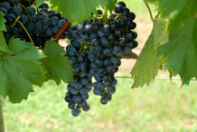 Blaue Weintrauben an der Rebe hängend