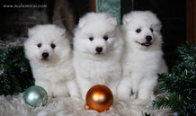 puppies japanese spitz, maho mirai puppies