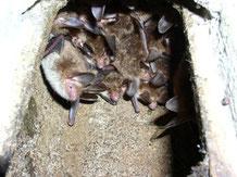 Fledermauskasten-Kolonie mit Bechsteinfledermäusen