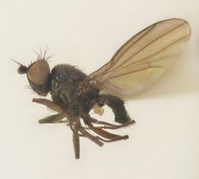 Acarthophtalmus nigrinus