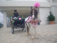 お花ちゃん、と呼びたいくらいかわいいさくら 小さくても力持ちですが、大人の騎乗はできません。