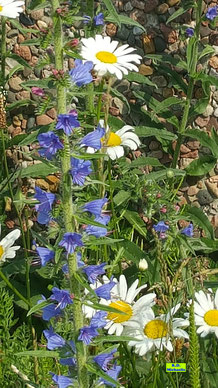 Wildblumen-Saum mit weißen Margariten und dem Blauen Natternkopf / Gewöhnlichem Natternkopf im Sonnenschein von K.D. Michaelis