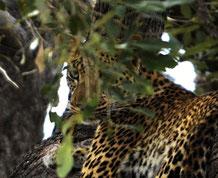 Der Leopard beim Relaxen auf dem Baum