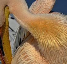 Pelikan Stil- oder Federn-Studie