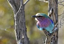 Lilac-breasted roller beim Aufwärmen
