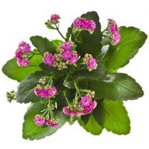 Le Kalanchoé - Classement des 10 plantes les plus résistantes par Garden & the City