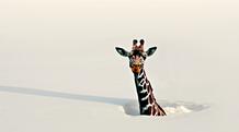 Giraffe im Schnee? Oder doch mehr?
