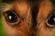 Le chien et l'expérimentation animal