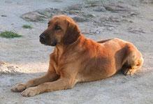 Chien de race ou chien d'espèce ?