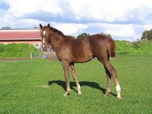 Lady als Fohlen 6 Monate alt