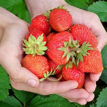 Ramasser soi-même les fraises à la main