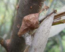 巣内での脱皮殻が穴から外へ出ている(2箇所)