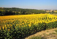 Les tournesols dans le Lauragais (Aude) sont en fleur!