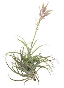 Tillandsia cacticola híbrida