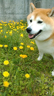 たんぽぽが沢山咲いていました。