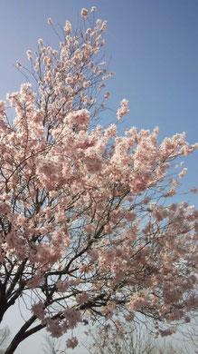 この土日で仙台は桜満開です。