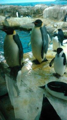 たぶんコウテイペンギン。首元の白い(黄色い)部分が繋がっているのがコウテイペンギンらしいです。